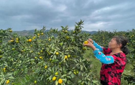 """酸甜多汁又可口!台州1.7万亩特早橘抢""""鲜""""上市"""